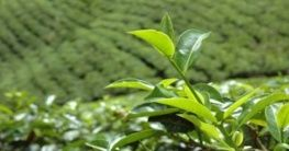 Charakter der Tees