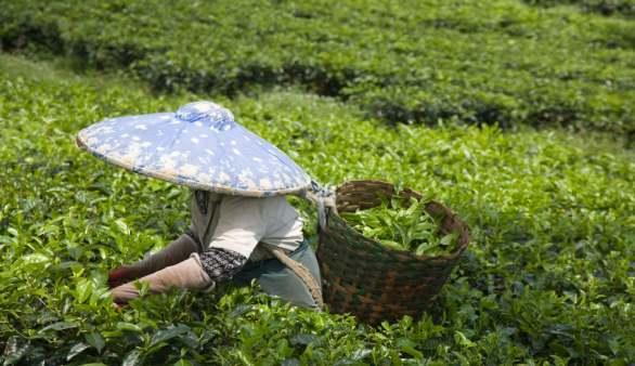 Teearbeiter
